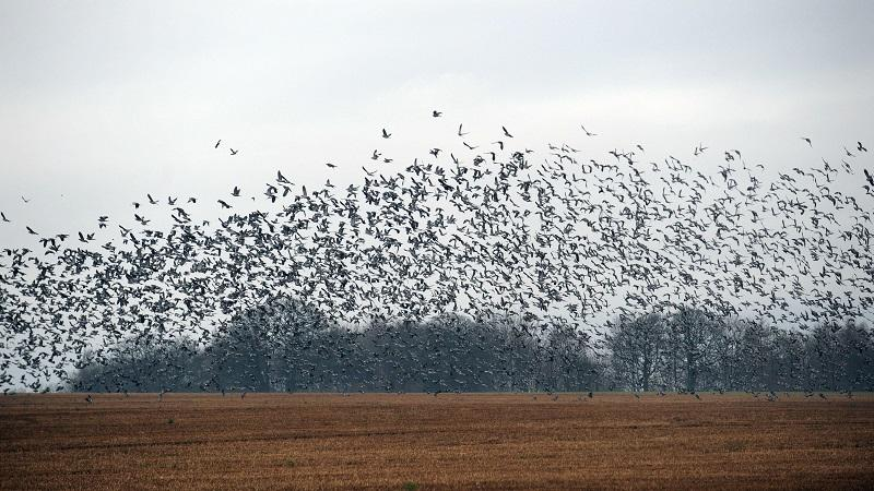 Image of pigeons taking flight over a field in the South Gloucestershire town of Chipping Sodbury
